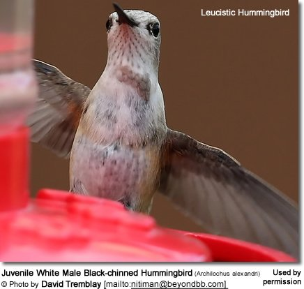 Juvenile White Male Black-chinned Hummingbird (Archilochus alexandri)