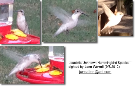 Leucistic Unknown Hummingbird Species sighted by Jane Worrell (9/6/2012)