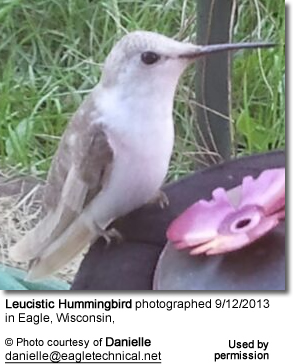 Leucistic Hummingbird photographed 9/12/2013 in Eagle, Wisconsin