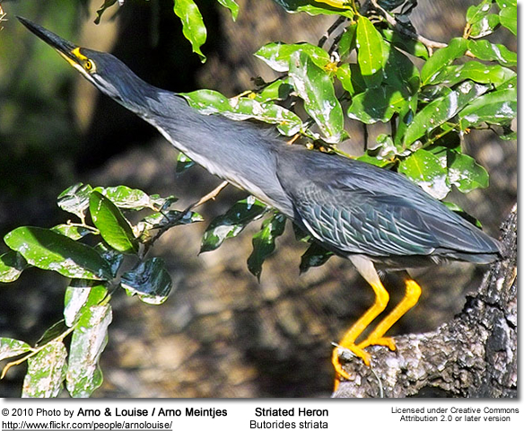 Striated Heron, Butorides striata, also known as Mangrove Heron or Little Heron