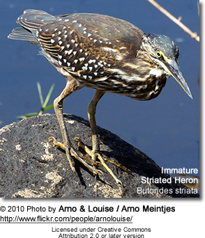Striated Heron, Butorides striata, also known as Mangrove Heron or Little Heron - immature