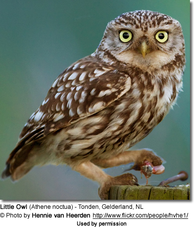 Little Owl photographed in Netherlands