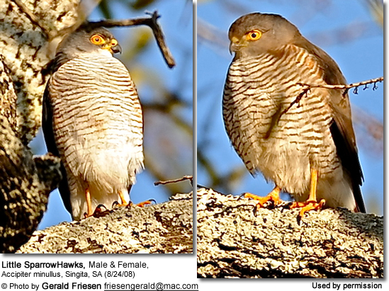 Little SparrowHawks, Male and Female, Accipiter minullus, Singita, SA (8/24/08)