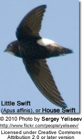 Little Swift