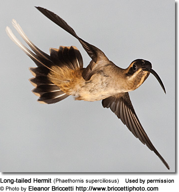 Long-tailed Hermit (Phaethornis superciliosus)