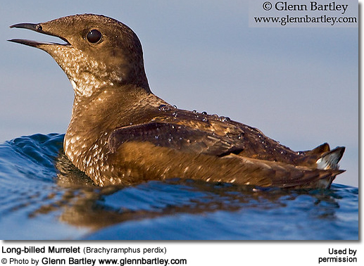 Long-billed Murrelet (Brachyramphus perdix)