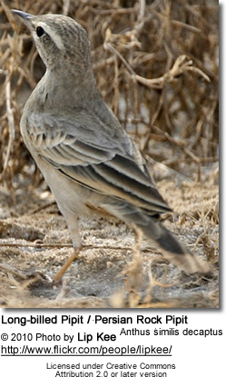 Long-billed Pipit or Brown Rock Pipit (Anthus similis)