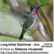 Male Long-billed Starthroat