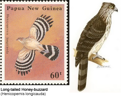 Long-tailed Honey-buzzard (Henicopernis longicauda)