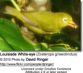 Louisiade White-eye (Zosterops griseotinctus)