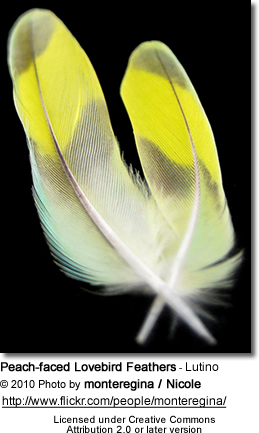 Peach-faced Lovebird Feathers - Lutino