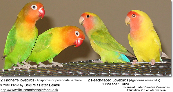 Two Fischer's Lovebirds to the left and two Peachfaced Lovebirds to the left (one pied and one lutino)