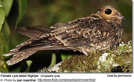 Female Lyre-tailed Nightjar  (Uropsalis lyra)