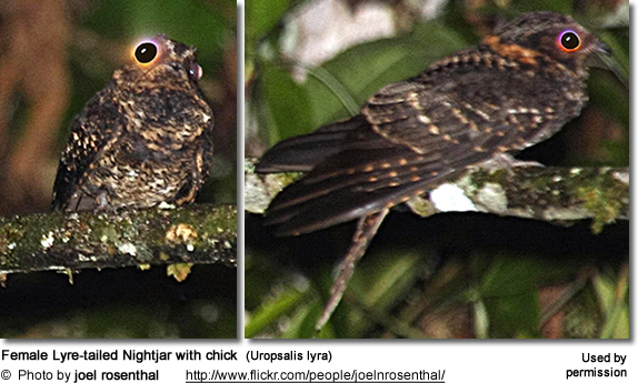 Female Lyre-tailed Nightjar with chick  (Uropsalis lyra)