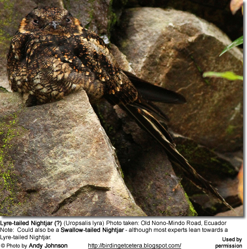 Lyre-tailed Nightjar (?) (Uropsalis lyra) Photo taken: Old Nono-Mindo Road, Ecuador