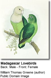 Madagascar Lovebirds