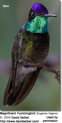 Magnificent Hummingbird (Eugenes fulgens) - Male