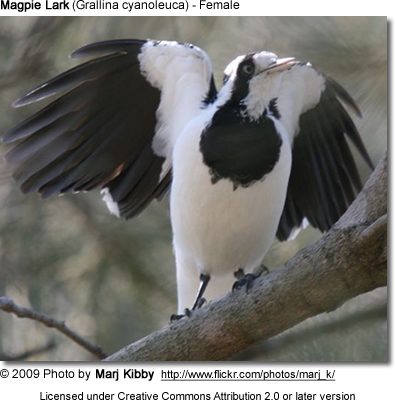Magpie Lark Female