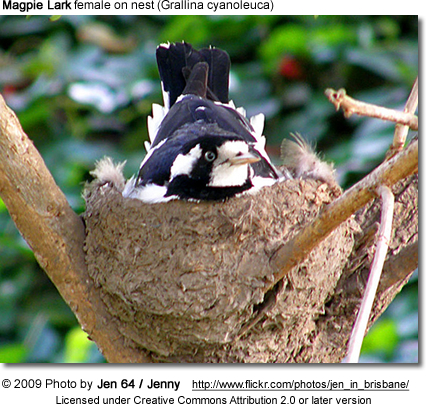 Magpie Lark female on nest