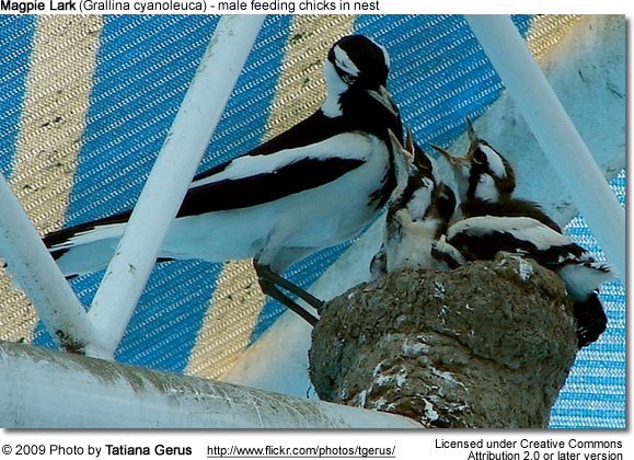 Male Magpie Lark feeding chicks in nest