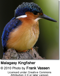 Malagasy Kingfisher or Madagascar Kingfisher (Alcedo vintsioides)