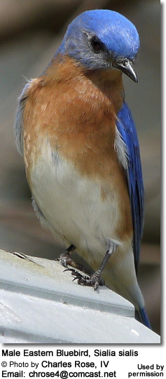 Male Eastern Bluebird, Sialia sialis