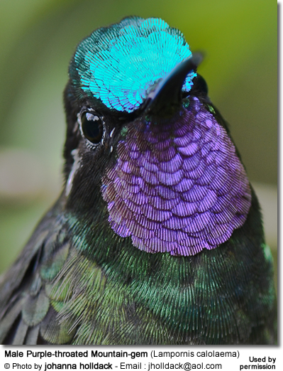 Male Purple-throated Mountain-gem (Lampornis calolaema)