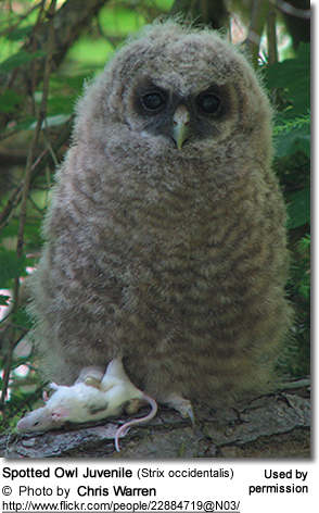 Spotted Owl Juvenile (Strix occidentalis)
