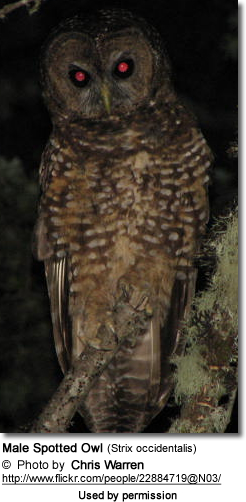 Male Spotted Owl (Strix occidentalis)