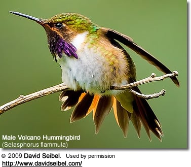 Male Volcano Hummingbird (Selasphorus flammula)