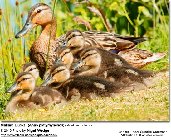 Mallard Ducks - Adult with chicks