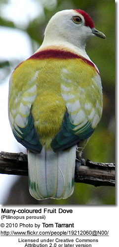 Many-coloured Fruit Dove (Ptilinopus perousii)