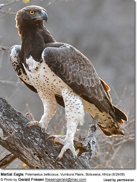 Martial Eagles (Polemaetus bellicosus)