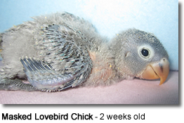 Masked Lovebird Chick -  2 days old