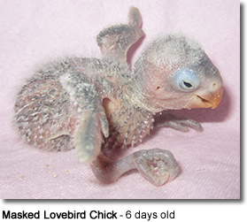 Masked Lovebird Chick - 6 days old
