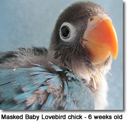Masked Baby Lovebird chick - 6 weeks old