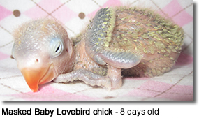 Masked Baby Lovebird chick - 8 days old