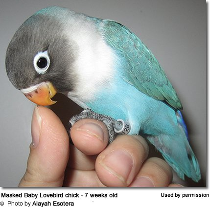 7 Week Old Blue Masked Lovebird Chick - note the dark markings on the upper beak that is typical of the immature lovebird