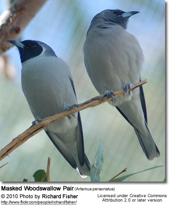 Masked Woodswallow Pair (Artamus personatus) - Pair