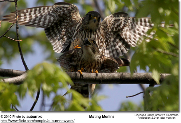 Mating Merlins