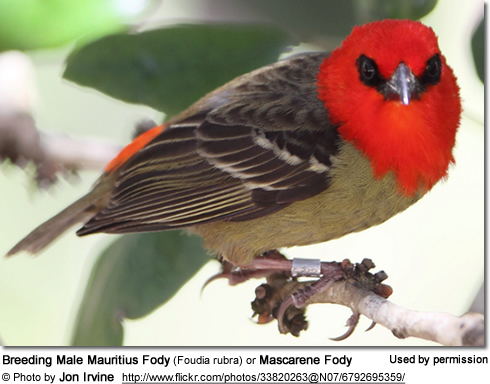 Breeding Male Mauritius Fody (Foudia rubra) or Mascarene Fody