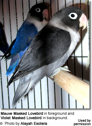 Mauve Masked Lovebird in foreground and Violet behind