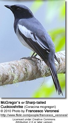 McGregor's or Sharp-tailed Cuckooshrike (Coracina mcgregori)