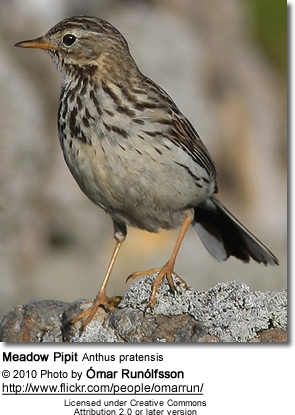 Meadow Pipit Anthus pratensis