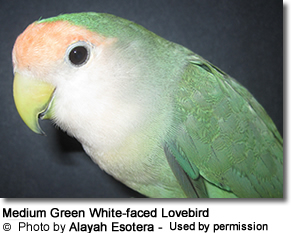 Medium Green White faced Peach-face Lovebird