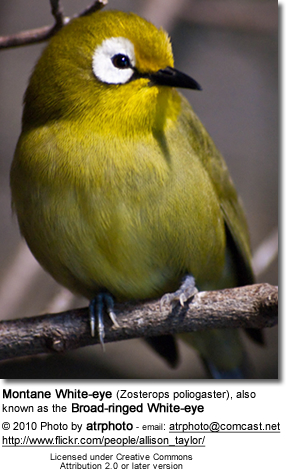 Montane White-eye (Zosterops poliogaster), also known as the Broad-ringed White-eye