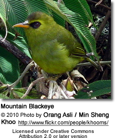 Mountain Blackeye (Chlorocharis emiliae)
