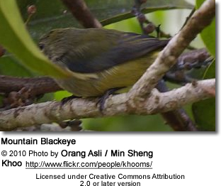 Mountain Blackeye