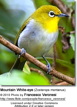 Mountain White-eye (Zosterops montanus)