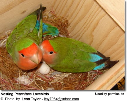 Nesting Peachface Lovebirds